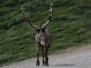 Karibu als Verkehrsteilnehmer im Denali NP