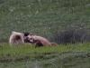 Grizzlymutter mit Kind beim toben ...
