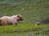 Grizzlymutter mit Kind im Denali NP