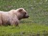 Grizzly im Denali NP
