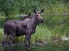 Und wieder mal ein Elch im Moose Lake ...