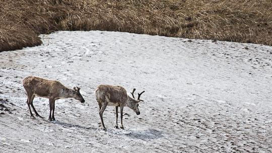 Karibus halten sich gerne die Mücken vom Leib indem sie sich auf kühlende Schneefeldern ausruhen.