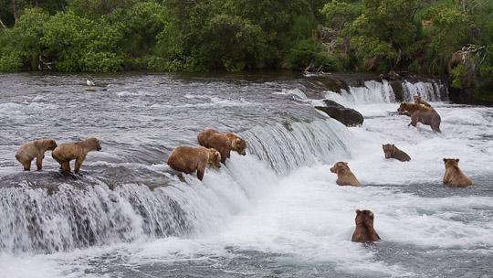 Grizzlys beim fischen im Katmai National Park an den Brooks Falls