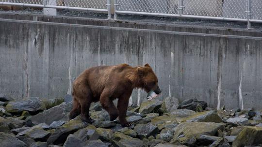 Ein Bär in stadtnähe - aber noch mit der natürlichen Nahrung versorgt